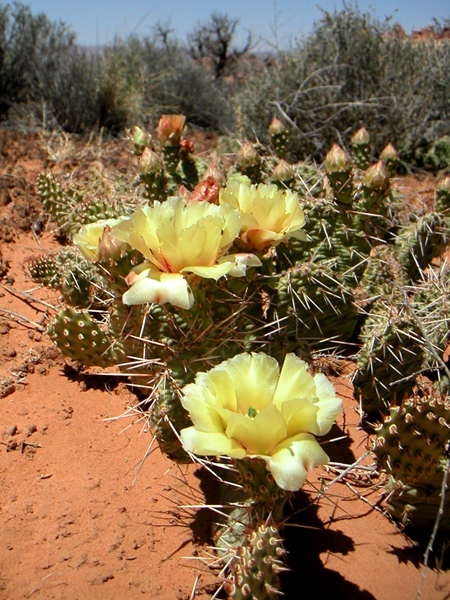 Spring in chessler park with Opuntia blooms