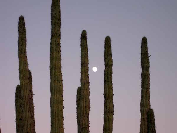 15-01-02 Organ Pipe Cactus NM -014