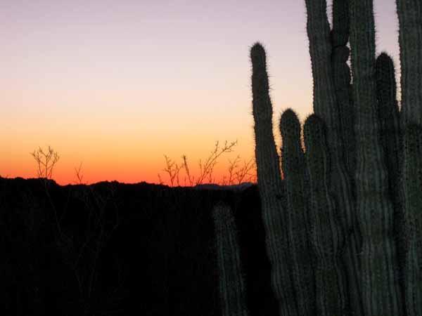 15-01-02 Organ Pipe Cactus NM -016