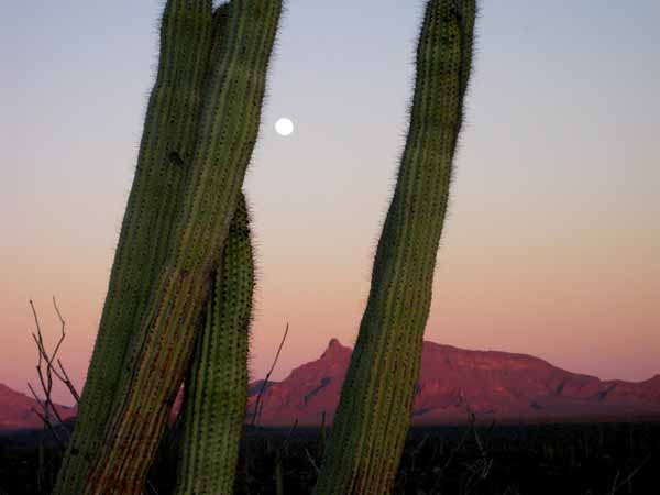 15-01-03 Organ Pipe Cactus NM -018