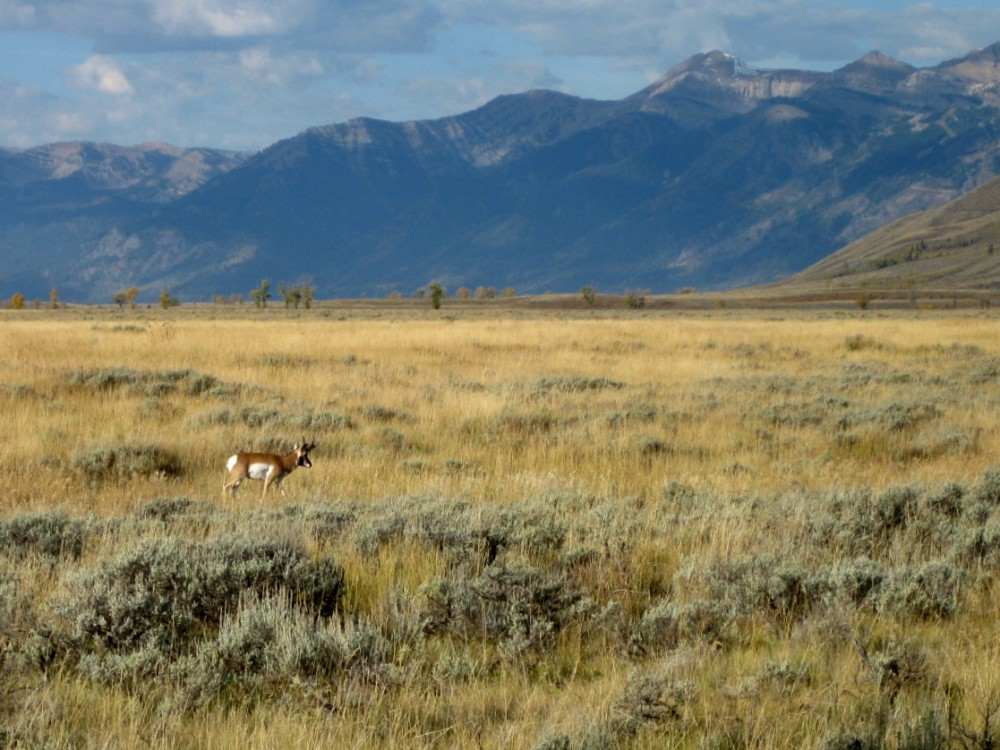 15-09 Grand Teton NP -112 - Proghorn Antelope Flats