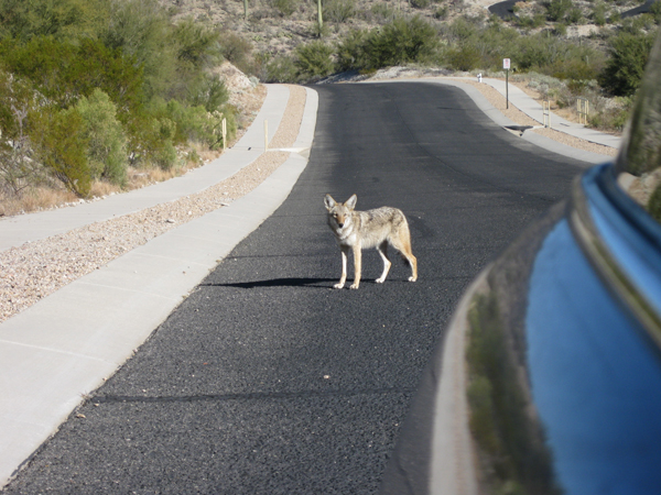 15-12-30 Tucson Mtn Park - Jetman-Bowen-Lee Hidden Canyon -013 E Wiley Coyote