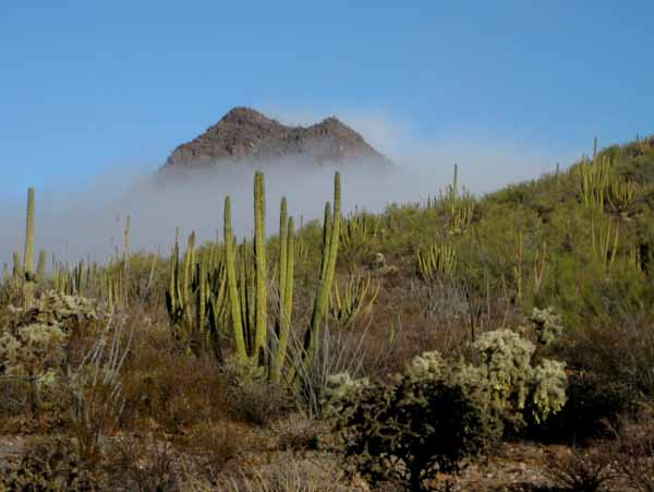 16-01-06 Organ Pipe Cactus NM -010